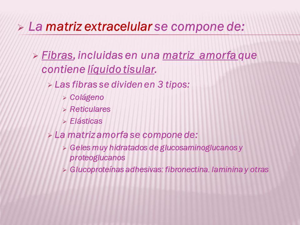 La matriz extracelular se compone de: Fibras, incluidas en una matriz amorfa que contiene líquido tisular. Las fibras se dividen en 3 tipos: Colágeno