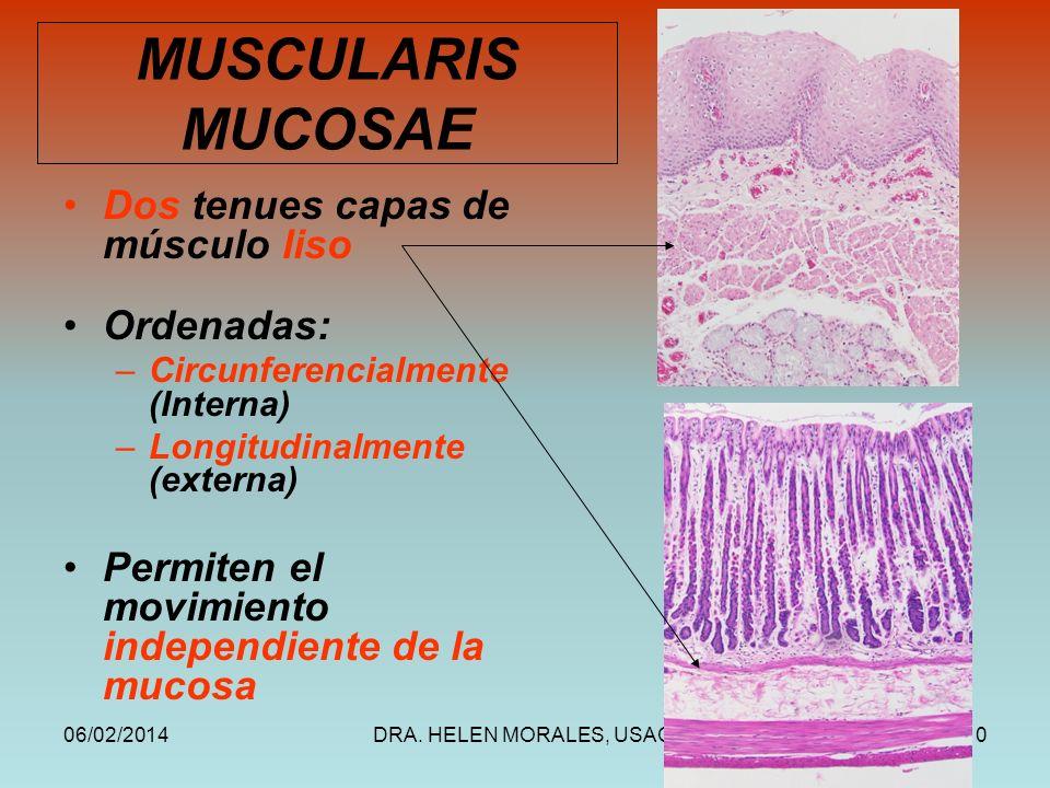 06/02/2014DRA. HELEN MORALES, USAC.10 MUSCULARIS MUCOSAE Dos tenues capas de músculo liso Ordenadas: –Circunferencialmente (Interna) –Longitudinalment