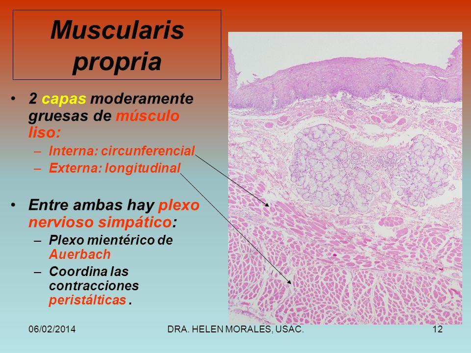 06/02/2014DRA. HELEN MORALES, USAC.12 Muscularis propria 2 capas moderamente gruesas de músculo liso: –Interna: circunferencial –Externa: longitudinal