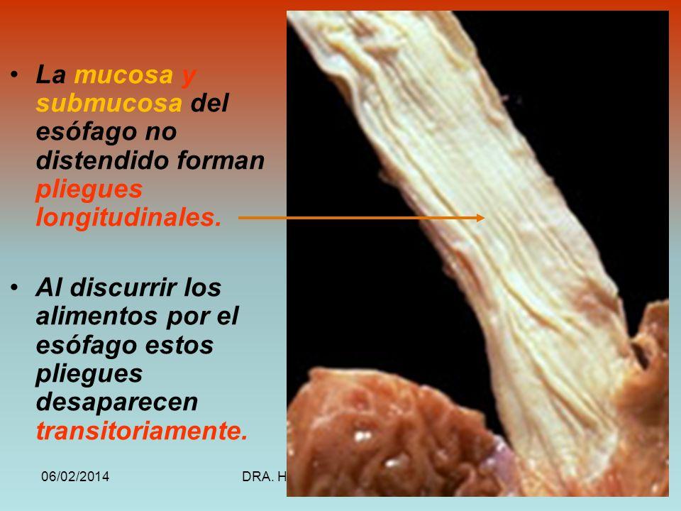 06/02/2014DRA. HELEN MORALES, USAC.18 La mucosa y submucosa del esófago no distendido forman pliegues longitudinales. Al discurrir los alimentos por e