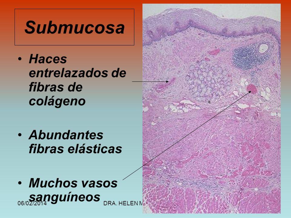 06/02/2014DRA. HELEN MORALES, USAC.23 Submucosa Haces entrelazados de fibras de colágeno Abundantes fibras elásticas Muchos vasos sanguíneos