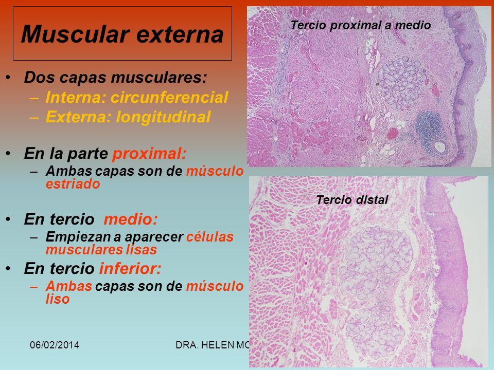 06/02/2014DRA. HELEN MORALES, USAC.24 Muscular externa Dos capas musculares: –Interna: circunferencial –Externa: longitudinal En la parte proximal: –A