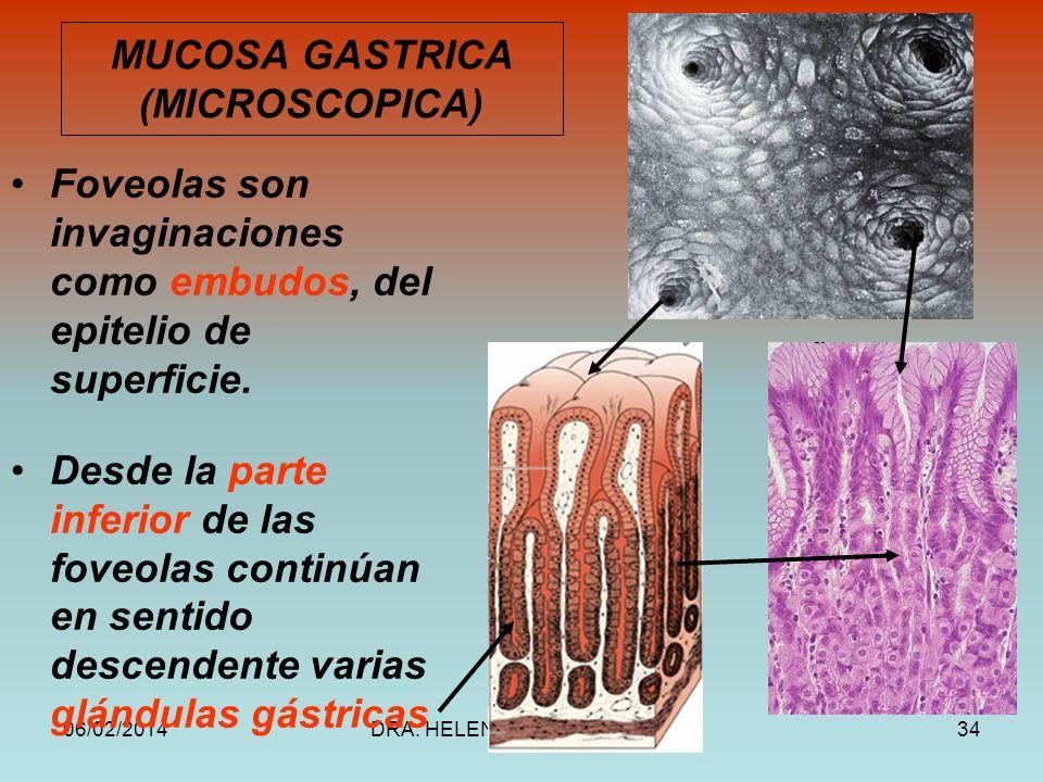 06/02/2014DRA. HELEN MORALES, USAC.34 MUCOSA GASTRICA (MICROSCOPICA) Foveolas son invaginaciones como embudos, del epitelio de superficie. Desde la pa