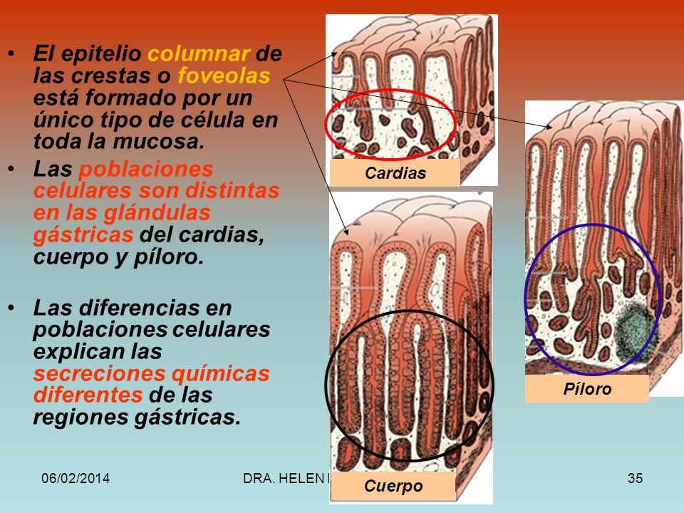 06/02/2014DRA. HELEN MORALES, USAC.35 El epitelio columnar de las crestas o foveolas está formado por un único tipo de célula en toda la mucosa. Las p