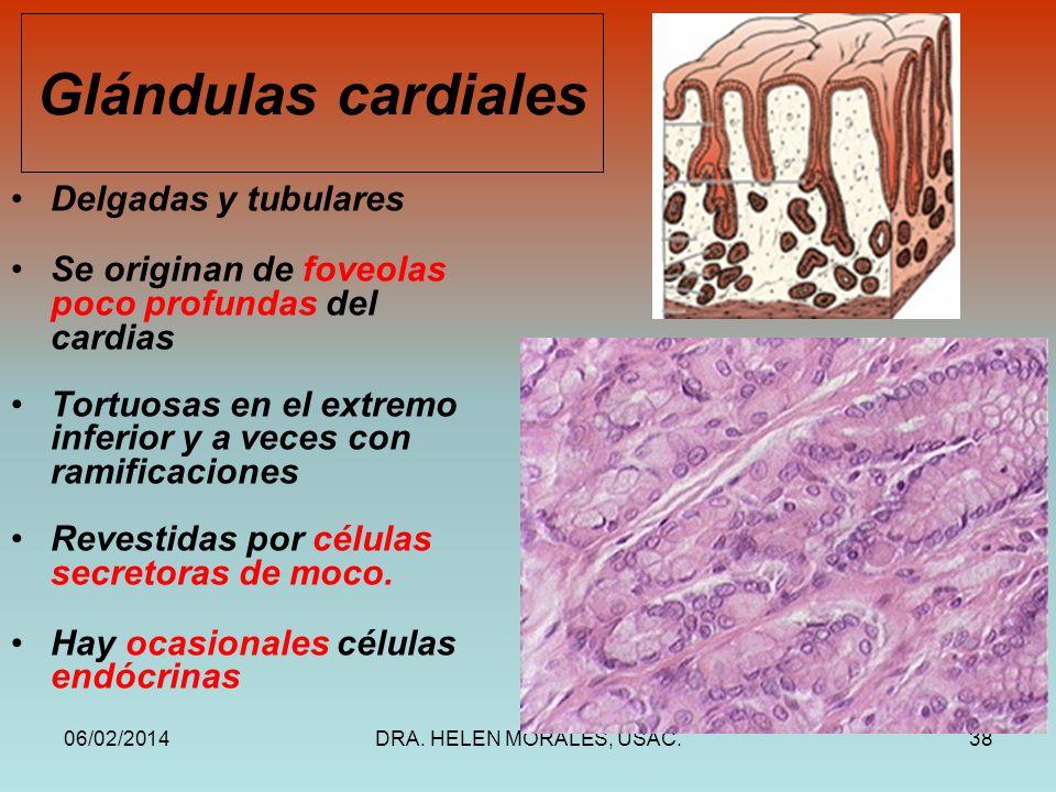 06/02/2014DRA. HELEN MORALES, USAC.38 Glándulas cardiales Delgadas y tubulares Se originan de foveolas poco profundas del cardias Tortuosas en el extr