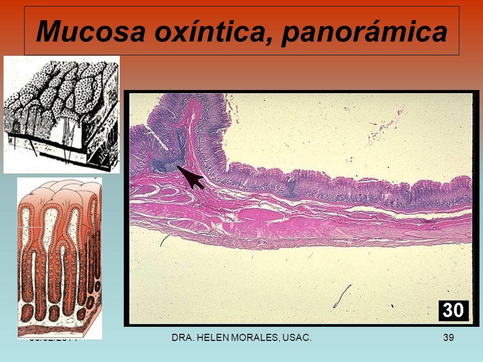 06/02/2014DRA. HELEN MORALES, USAC.39 Mucosa oxíntica, panorámica