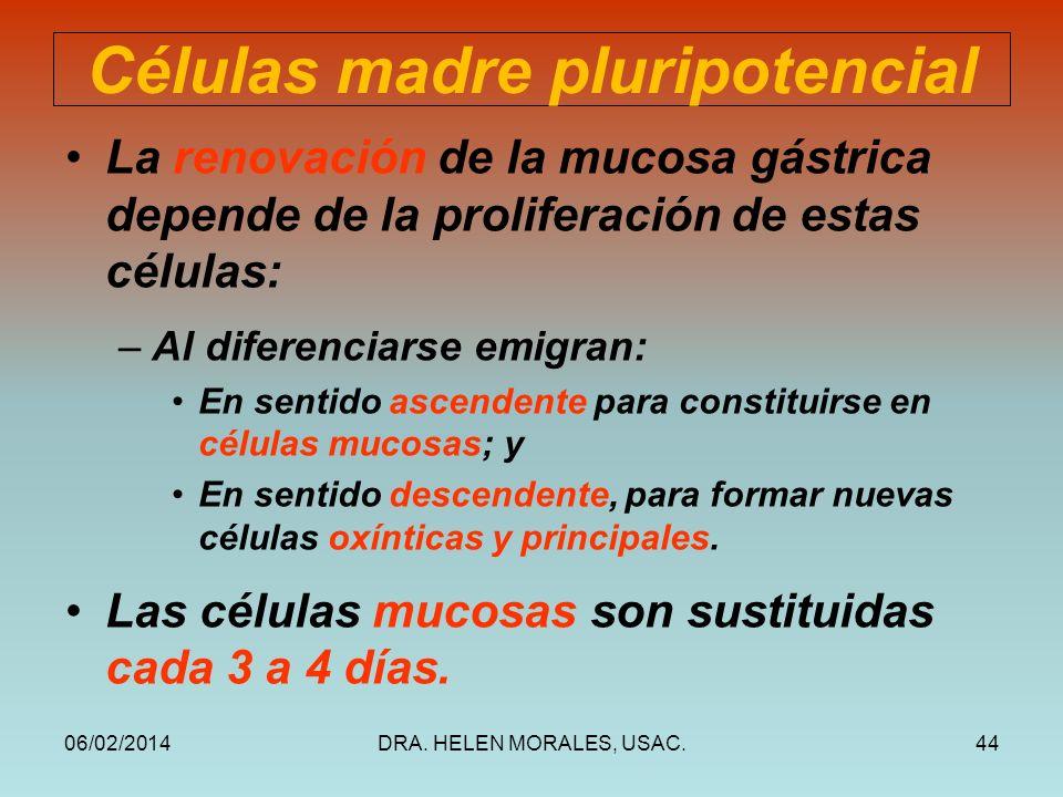 06/02/2014DRA. HELEN MORALES, USAC.44 Células madre pluripotencial La renovación de la mucosa gástrica depende de la proliferación de estas células: –