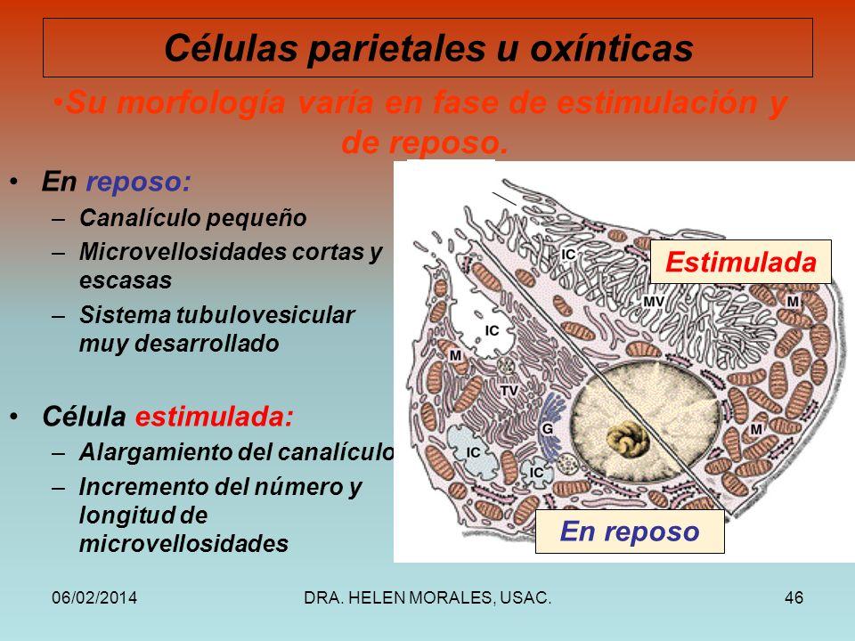 06/02/2014DRA. HELEN MORALES, USAC.46 En reposo: –Canalículo pequeño –Microvellosidades cortas y escasas –Sistema tubulovesicular muy desarrollado Cél