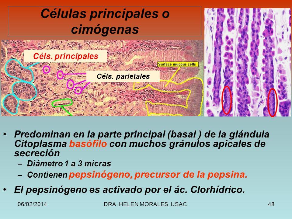 06/02/2014DRA. HELEN MORALES, USAC.48 Predominan en la parte principal (basal ) de la glándula Citoplasma basófilo con muchos gránulos apicales de sec