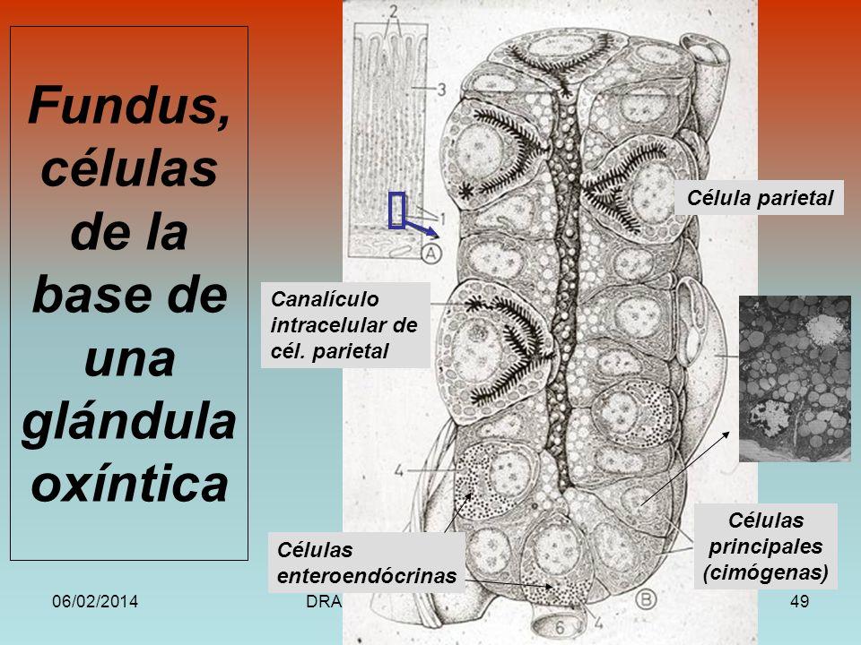 06/02/2014DRA. HELEN MORALES, USAC.49 Fundus, células de la base de una glándula oxíntica Célula parietal Canalículo intracelular de cél. parietal Cél