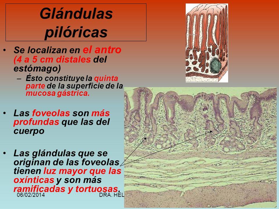06/02/2014DRA. HELEN MORALES, USAC.50 Glándulas pilóricas Se localizan en el antro (4 a 5 cm distales del estómago) –Ésto constituye la quinta parte d