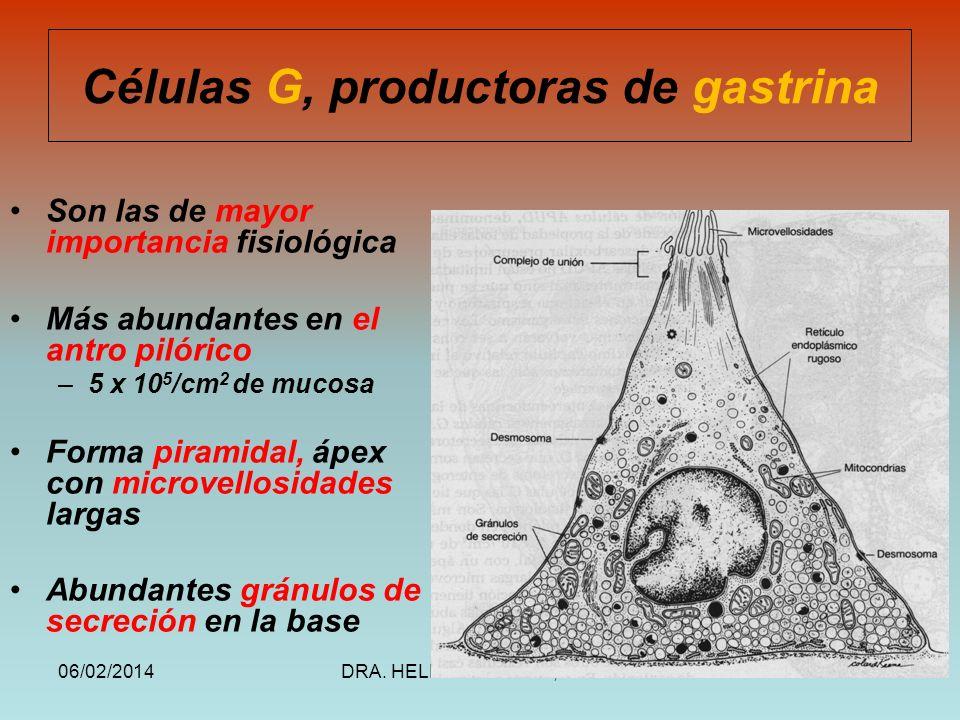 06/02/2014DRA. HELEN MORALES, USAC.55 Células G, productoras de gastrina Son las de mayor importancia fisiológica Más abundantes en el antro pilórico