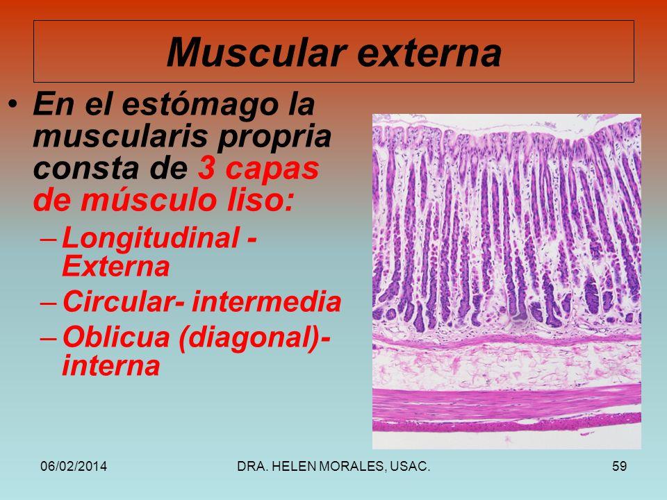 06/02/2014DRA. HELEN MORALES, USAC.59 Muscular externa En el estómago la muscularis propria consta de 3 capas de músculo liso: –Longitudinal - Externa