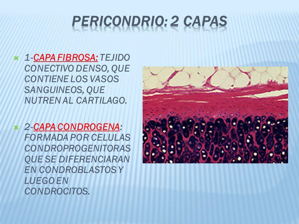 1-CAPA FIBROSA: TEJIDO CONECTIVO DENSO, QUE CONTIENE LOS VASOS SANGUINEOS, QUE NUTREN AL CARTILAGO.