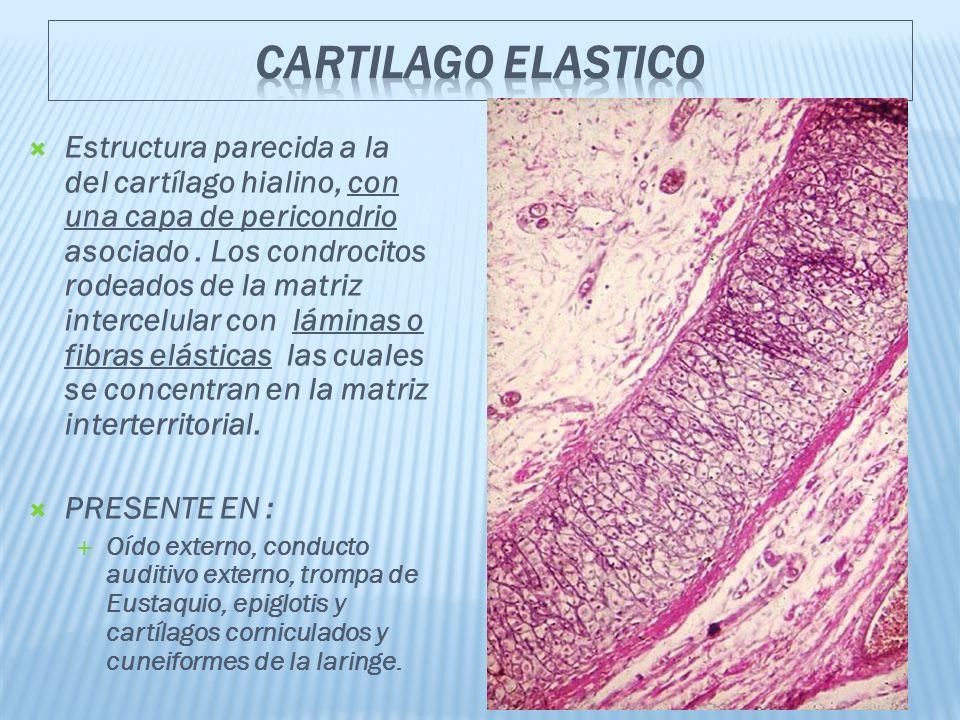 Estructura parecida a la del cartílago hialino, con una capa de pericondrio asociado.