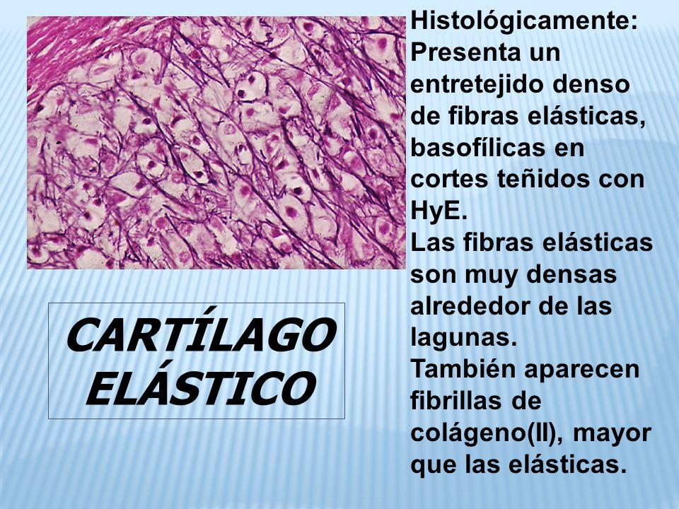 CARTÍLAGO ELÁSTICO Histológicamente: Presenta un entretejido denso de fibras elásticas, basofílicas en cortes teñidos con HyE.