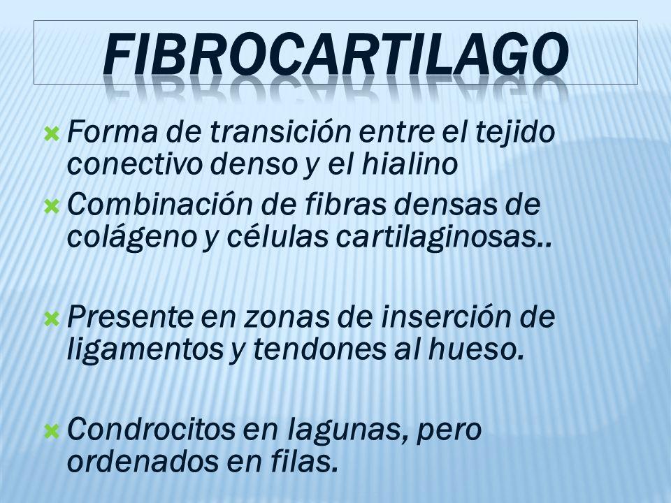 Forma de transición entre el tejido conectivo denso y el hialino Combinación de fibras densas de colágeno y células cartilaginosas..