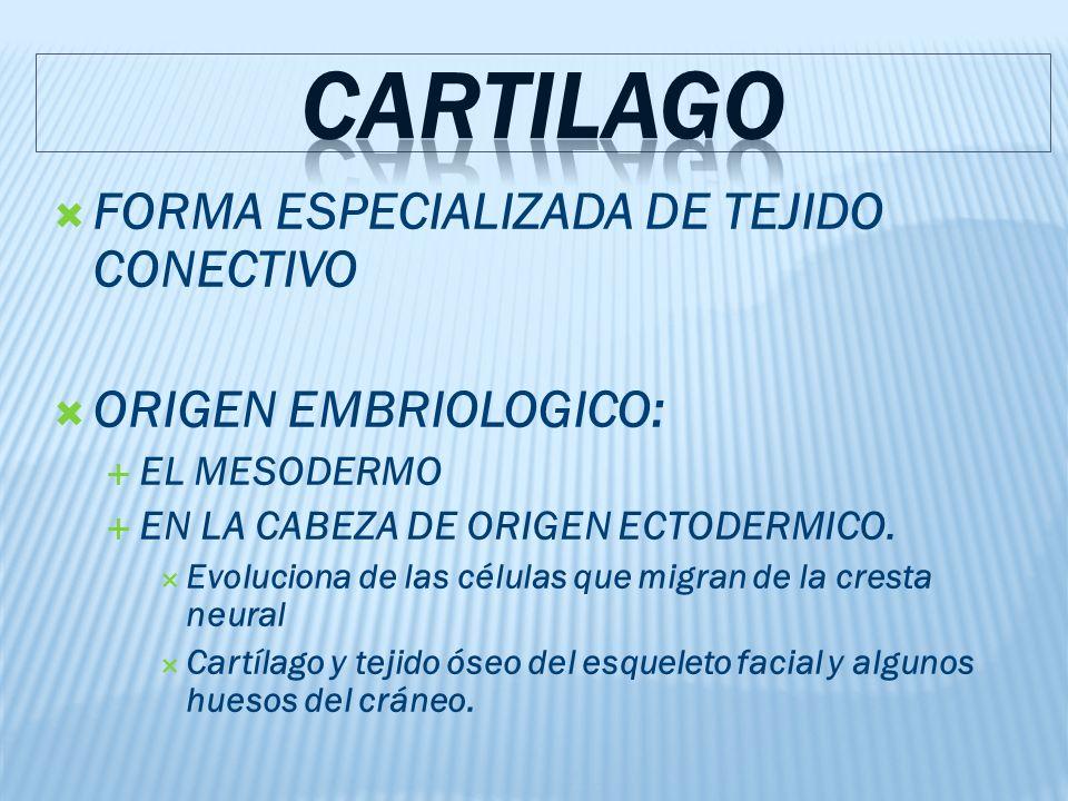 FORMA ESPECIALIZADA DE TEJIDO CONECTIVO ORIGEN EMBRIOLOGICO: EL MESODERMO EN LA CABEZA DE ORIGEN ECTODERMICO.