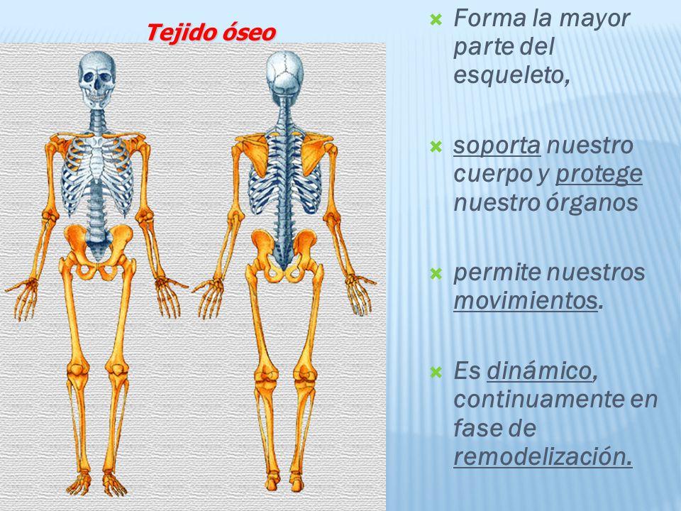 Forma la mayor parte del esqueleto, soporta nuestro cuerpo y protege nuestro órganos permite nuestros movimientos.