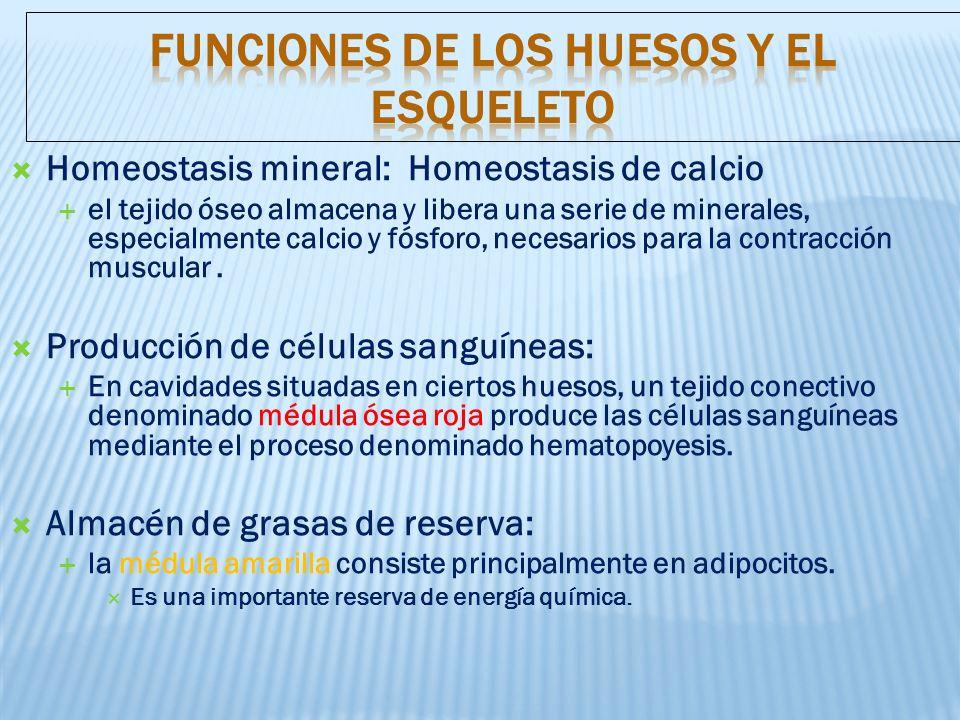 Homeostasis mineral: Homeostasis de calcio el tejido óseo almacena y libera una serie de minerales, especialmente calcio y fósforo, necesarios para la contracción muscular.