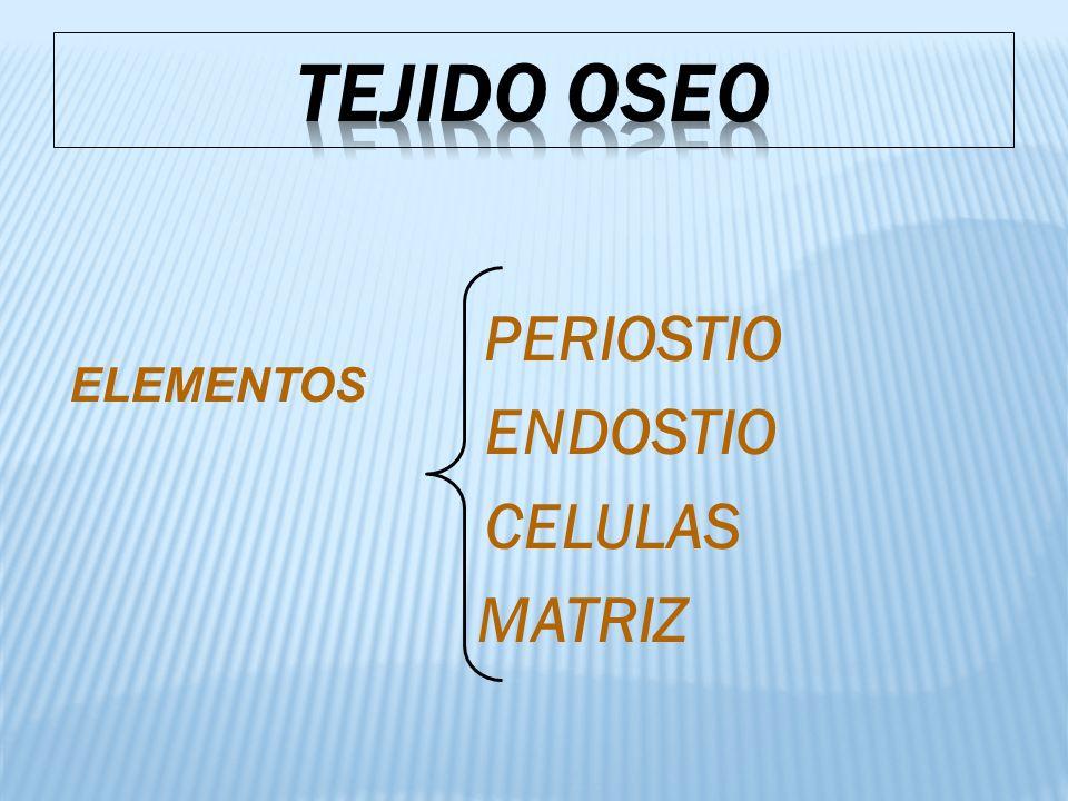 PERIOSTIO ENDOSTIO CELULAS MATRIZ ELEMENTOS
