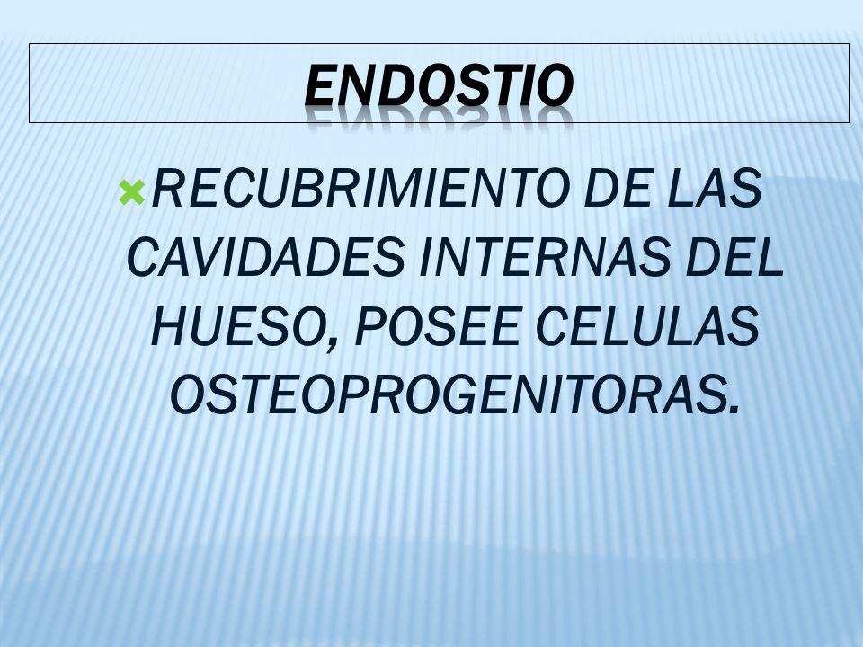 RECUBRIMIENTO DE LAS CAVIDADES INTERNAS DEL HUESO, POSEE CELULAS OSTEOPROGENITORAS.