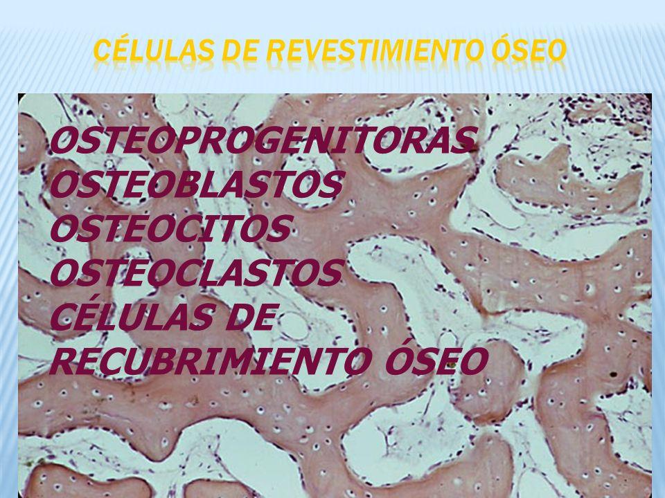 OSTEOPROGENITORAS OSTEOBLASTOS OSTEOCITOS OSTEOCLASTOS CÉLULAS DE RECUBRIMIENTO ÓSEO