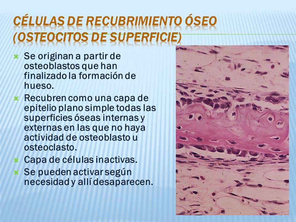 Se originan a partir de osteoblastos que han finalizado la formación de hueso.