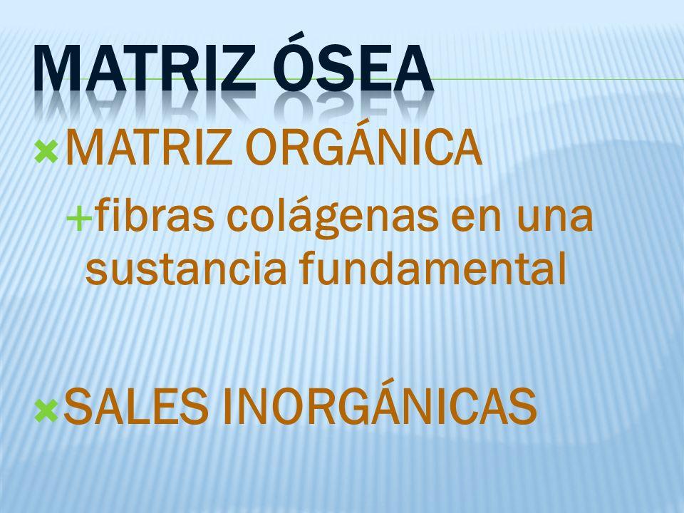 MATRIZ ORGÁNICA fibras colágenas en una sustancia fundamental SALES INORGÁNICAS