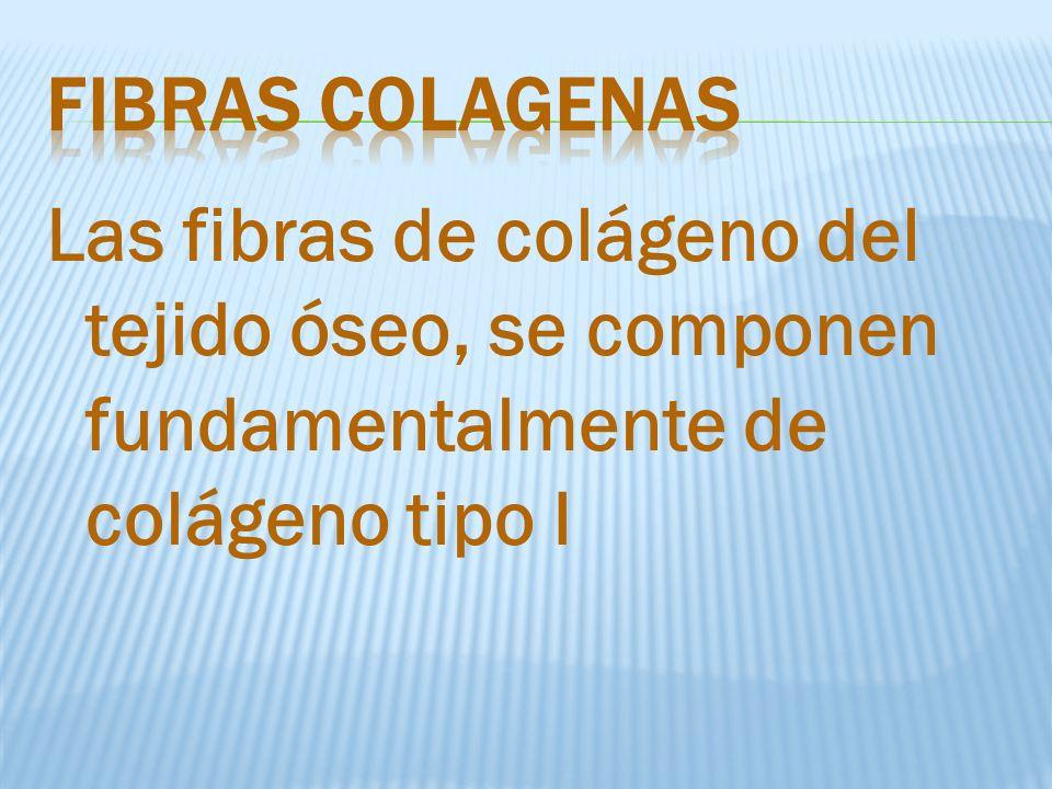 Las fibras de colágeno del tejido óseo, se componen fundamentalmente de colágeno tipo I