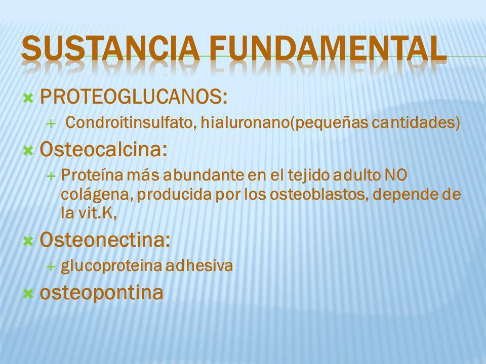 PROTEOGLUCANOS: Condroitinsulfato, hialuronano(pequeñas cantidades) Osteocalcina: Proteína más abundante en el tejido adulto NO colágena, producida por los osteoblastos, depende de la vit.K, Osteonectina: glucoproteina adhesiva osteopontina