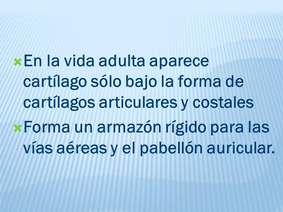 En la vida adulta aparece cartílago sólo bajo la forma de cartílagos articulares y costales Forma un armazón rígido para las vías aéreas y el pabellón auricular.