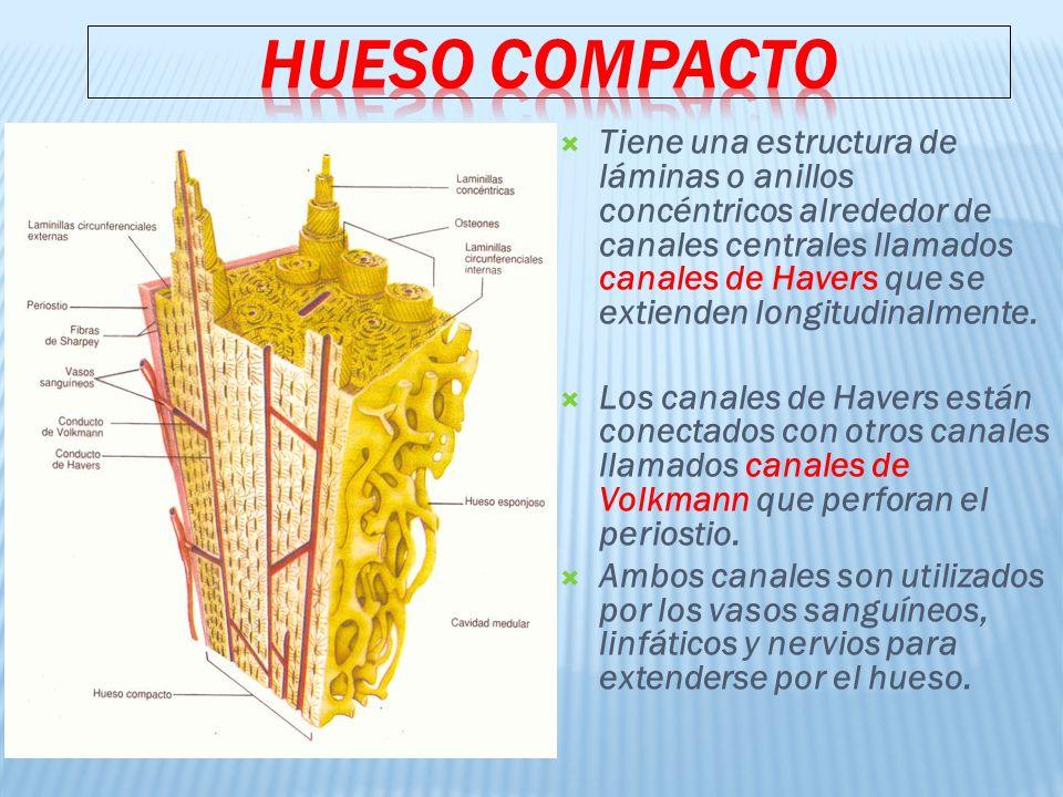 Tiene una estructura de láminas o anillos concéntricos alrededor de canales centrales llamados canales de Havers que se extienden longitudinalmente.