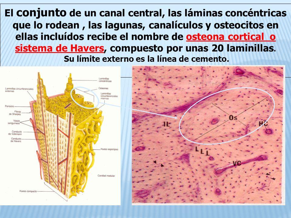 El conjunto de un canal central, las láminas concéntricas que lo rodean, las lagunas, canalículos y osteocitos en ellas incluídos recibe el nombre de osteona cortical o sistema de Havers, compuesto por unas 20 laminillas.