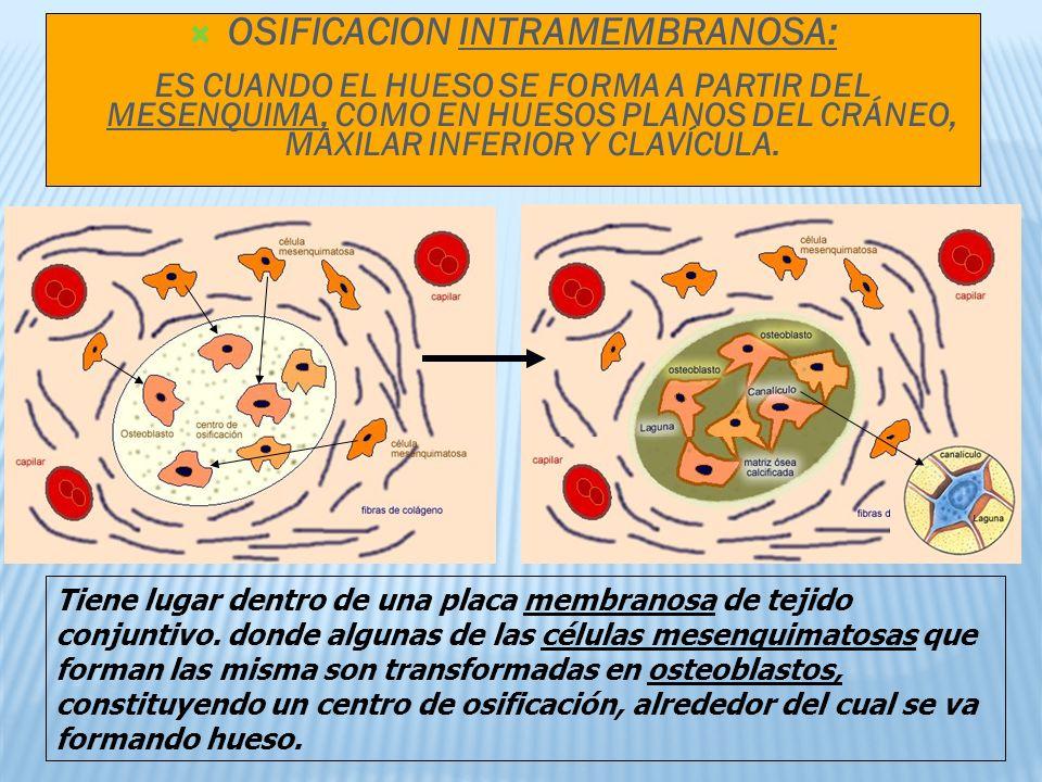 OSIFICACION INTRAMEMBRANOSA: ES CUANDO EL HUESO SE FORMA A PARTIR DEL MESENQUIMA, COMO EN HUESOS PLANOS DEL CRÁNEO, MAXILAR INFERIOR Y CLAVÍCULA.
