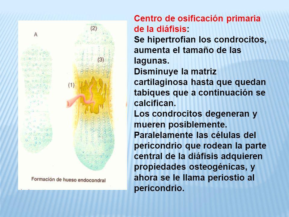Centro de osificación primaria de la diáfisis: Se hipertrofian los condrocitos, aumenta el tamaño de las lagunas.