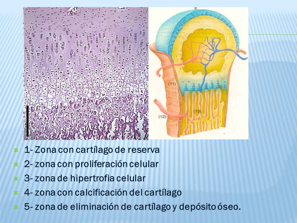 1- Zona con cartílago de reserva 2- zona con proliferación celular 3- zona de hipertrofia celular 4- zona con calcificación del cartílago 5- zona de eliminación de cartílago y depósito óseo.