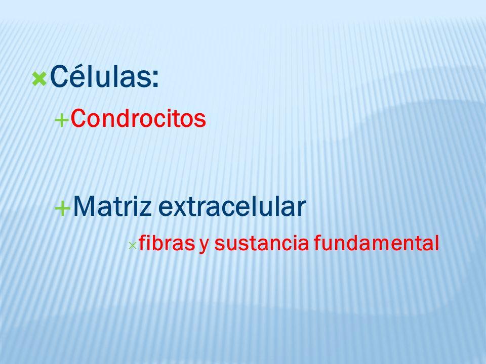 Células: Condrocitos Matriz extracelular fibras y sustancia fundamental