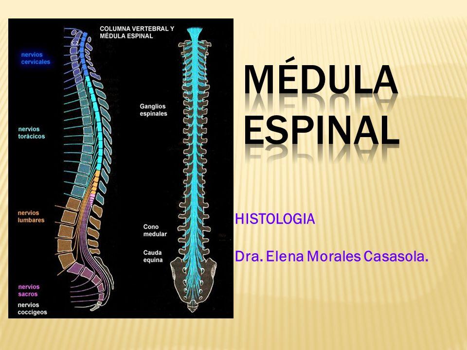 Radicular Alfa: Células de forma estrellada, Son las más grandes de la médula espinal, sus dendritas hacen sinapsis con fascículos que vienen del cerebro y cerebelo.
