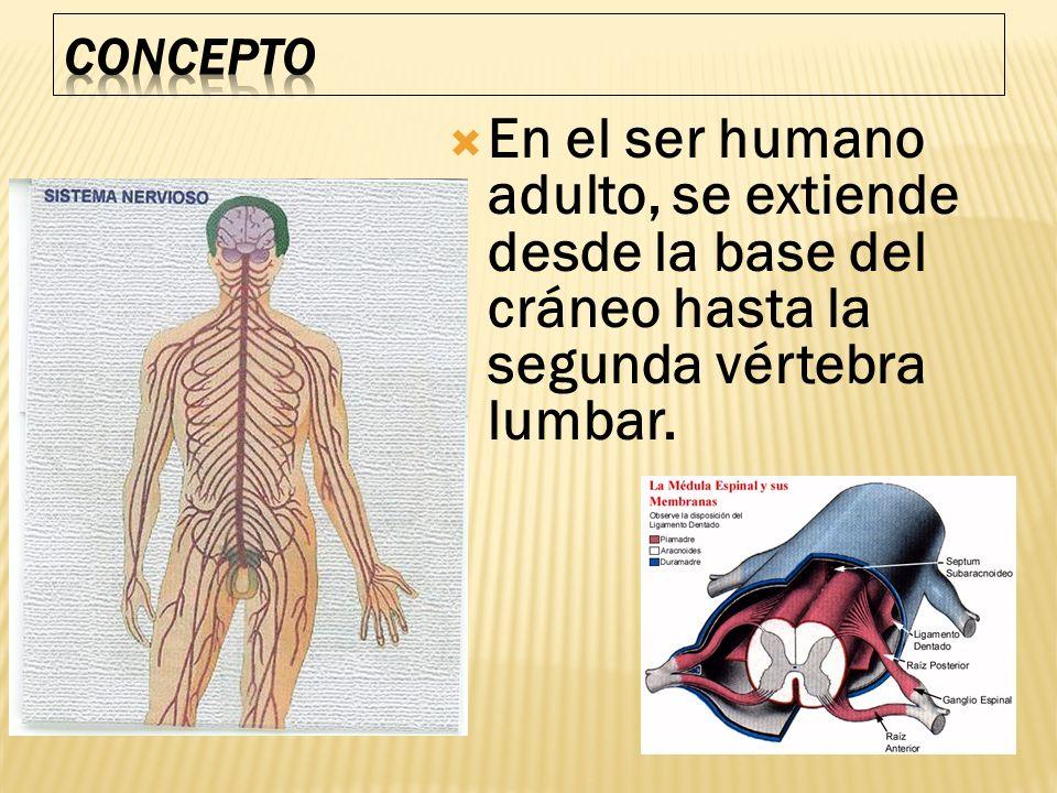 En el ser humano adulto, se extiende desde la base del cráneo hasta la segunda vértebra lumbar.