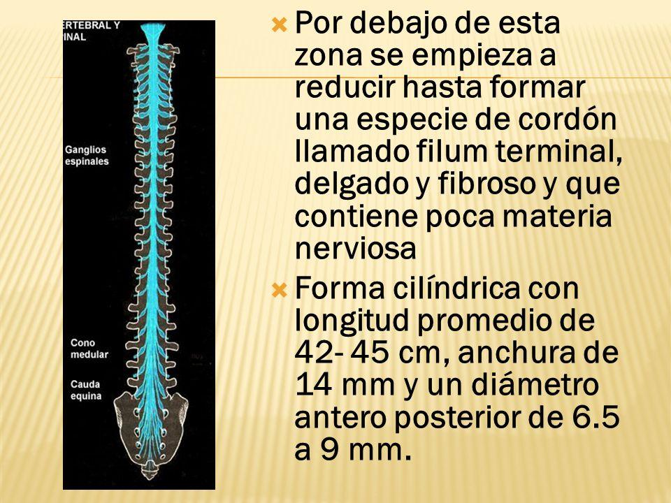 Por debajo de esta zona se empieza a reducir hasta formar una especie de cordón llamado filum terminal, delgado y fibroso y que contiene poca materia