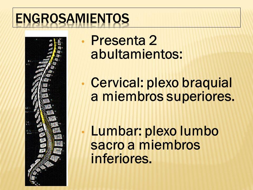 Presenta 2 abultamientos: Cervical: plexo braquial a miembros superiores. Lumbar: plexo lumbo sacro a miembros inferiores.