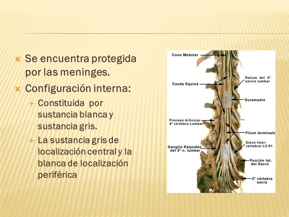 Se encuentra protegida por las meninges. Configuración interna: Constituida por sustancia blanca y sustancia gris. La sustancia gris de localización c