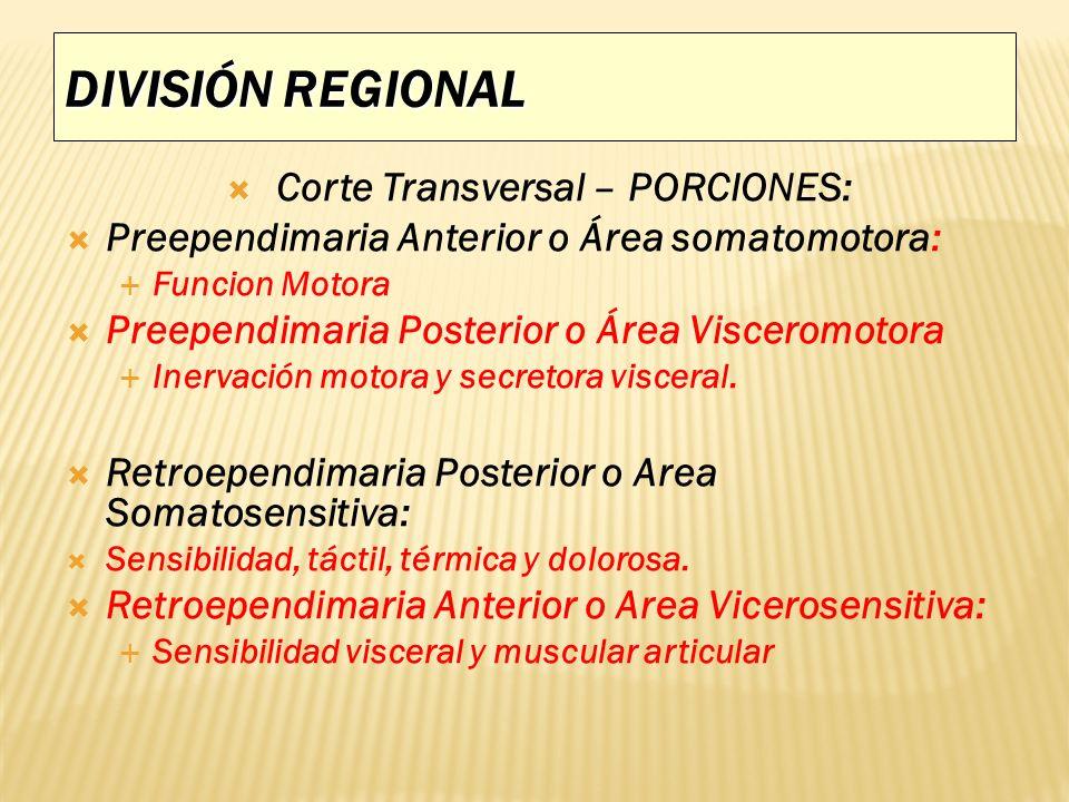 DIVISIÓN REGIONAL Corte Transversal – PORCIONES: Preependimaria Anterior o Área somatomotora: Funcion Motora Preependimaria Posterior o Área Visceromo