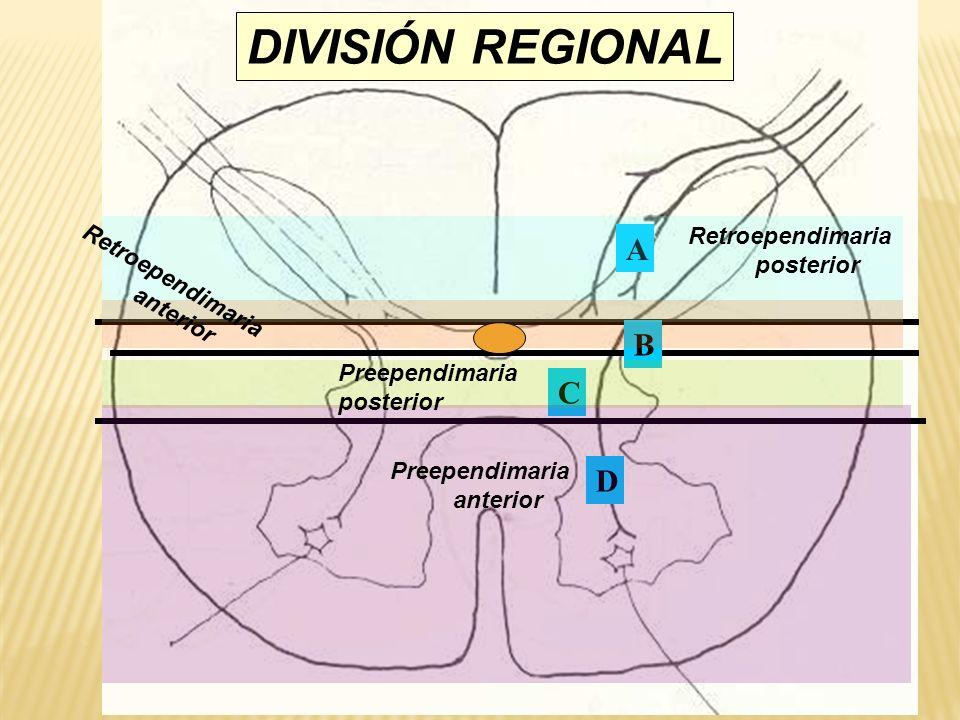 A B C D Retroependimaria posterior Retroependimaria anterior Preependimaria posterior Preependimaria anterior DIVISIÓN REGIONAL