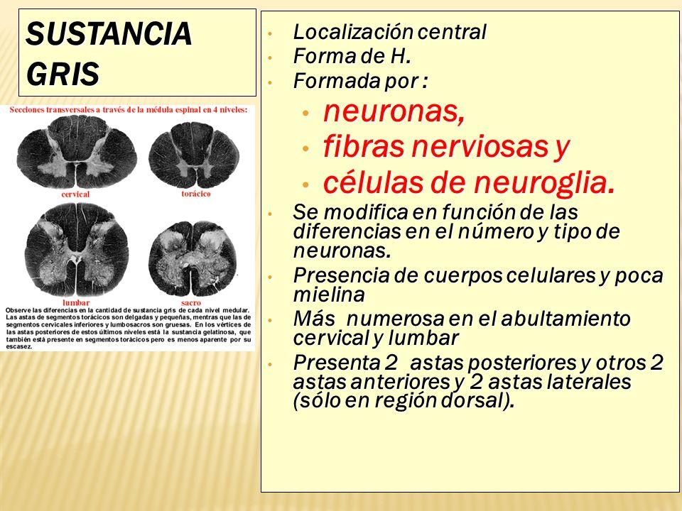 SUSTANCIA GRIS Localización central Localización central Forma de H. Forma de H. Formada por : Formada por : neuronas, neuronas, fibras nerviosas y fi