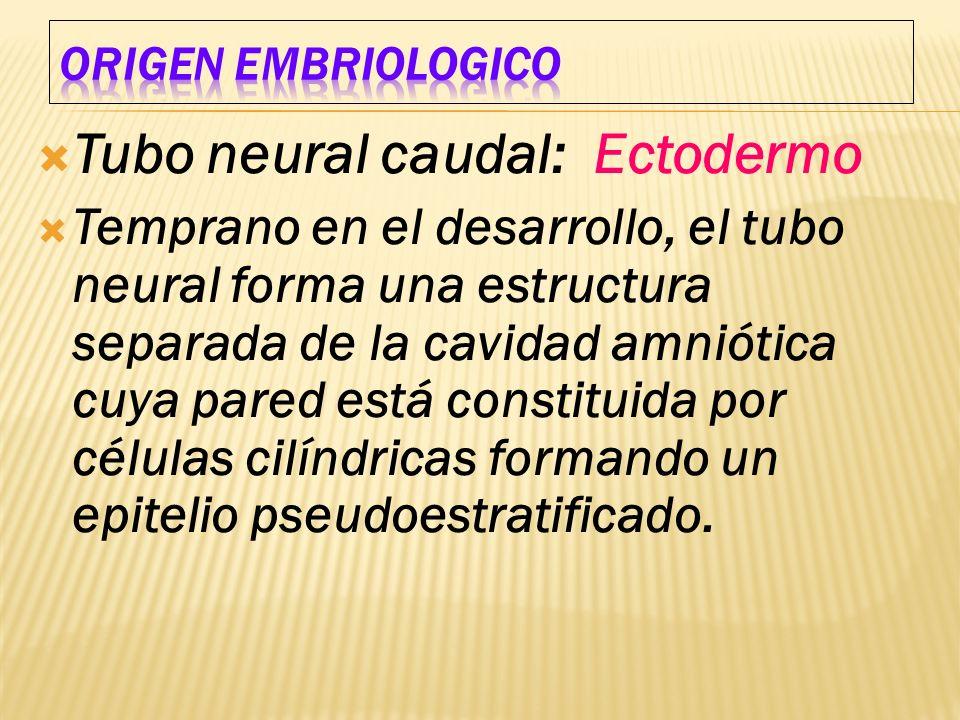 Tubo neural caudal: Ectodermo Temprano en el desarrollo, el tubo neural forma una estructura separada de la cavidad amniótica cuya pared está constitu