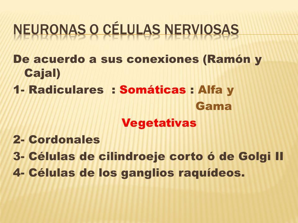 De acuerdo a sus conexiones (Ramón y Cajal) 1- Radiculares : Somáticas : Alfa y Gama Vegetativas 2- Cordonales 3- Células de cilindroeje corto ó de Go