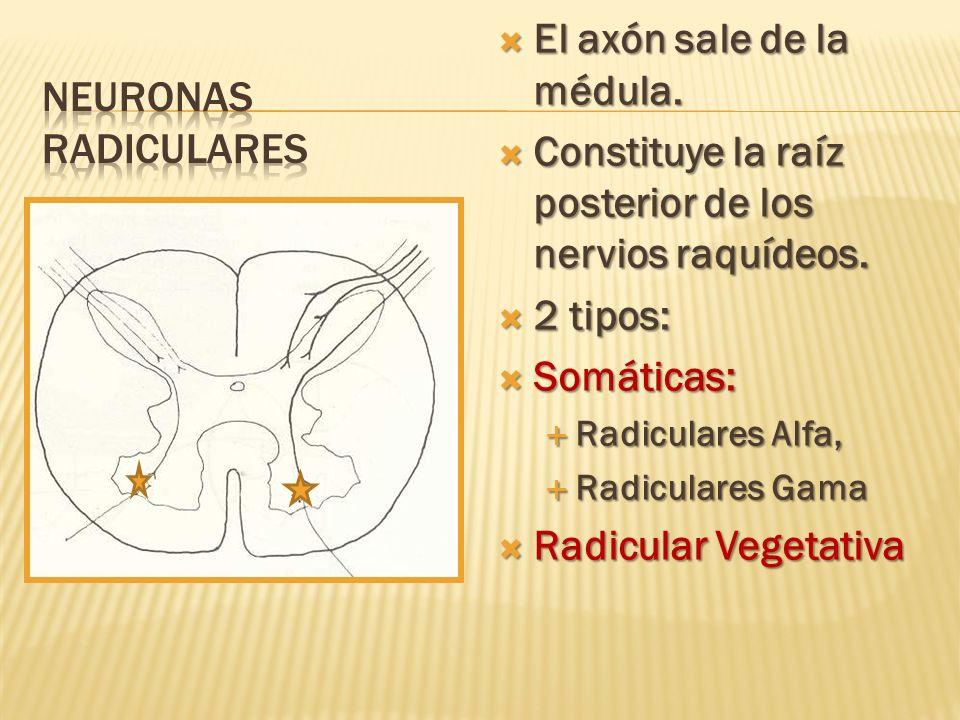 El axón sale de la médula. El axón sale de la médula. Constituye la raíz posterior de los nervios raquídeos. Constituye la raíz posterior de los nervi