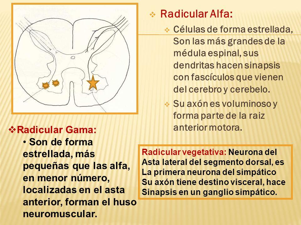 Radicular Alfa: Células de forma estrellada, Son las más grandes de la médula espinal, sus dendritas hacen sinapsis con fascículos que vienen del cere